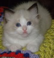 Ragdoll Kittens - Purrfect Companions