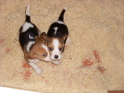 beagle tri colour,  Both,  0-8weeks
