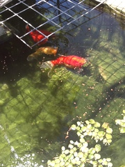 Huge Gold Fish,  Pump,  Filter,  Food & Pond Solution