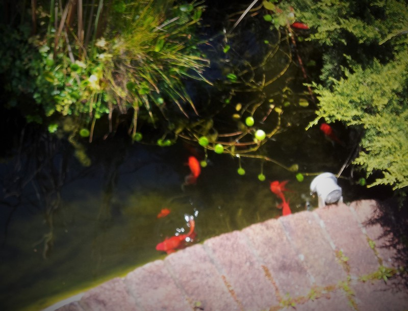 Goldfish koi pondplants mandurah fish for sale for Goldfish pond plants