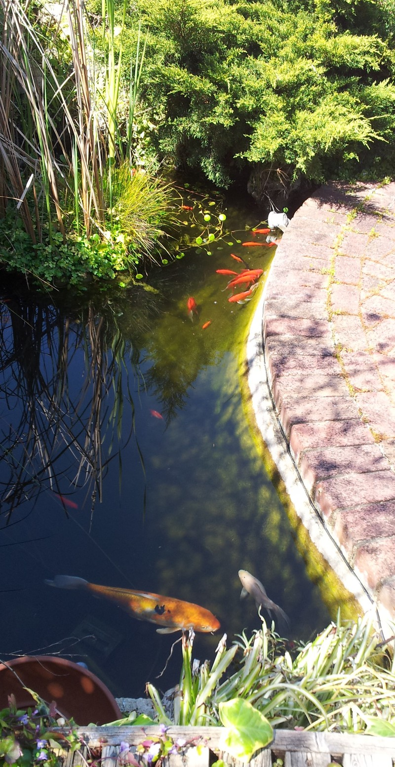Goldfish koi pondplants mandurah fish for sale for Koi fish australia